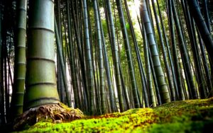 Bamboo Forest Desktop Background