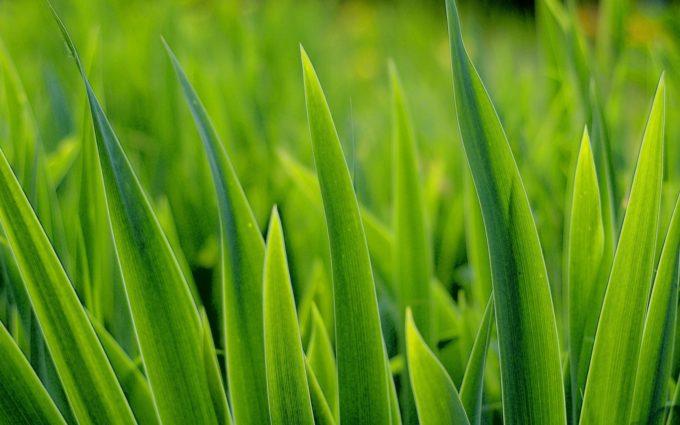 Grass Greens Plant Desktop Background