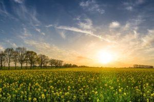 Oilseed Rape Field Of Rapeseeds Sunset