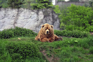 Bear Brown Grass Funny Lie Desktop Wallpapers