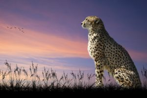 Cheetah Nature Sit Desktop Wallpapers