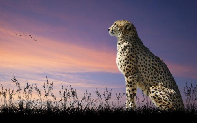 Cheetah Nature Sit Desktop Wallpapers