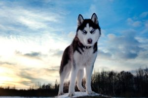 Dog Husky Look Spotted Muzzle Desktop Wallpapers