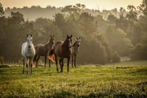 Horses Grass Herd Walk Trees Fog Desktop Wallpapers