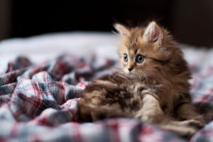 Kitten Fluffy Look Desktop Wallpapers