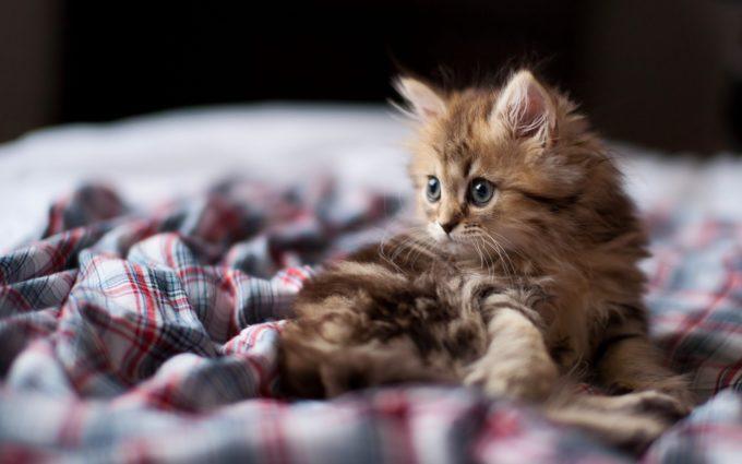 Kitten Fluffy Look Desktop Wallpapers