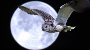 Owl Bird Predator Moon Flight Desktop Wallpapers