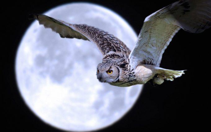Owl Bird Predator Moon Flight Desktop Wallpapers