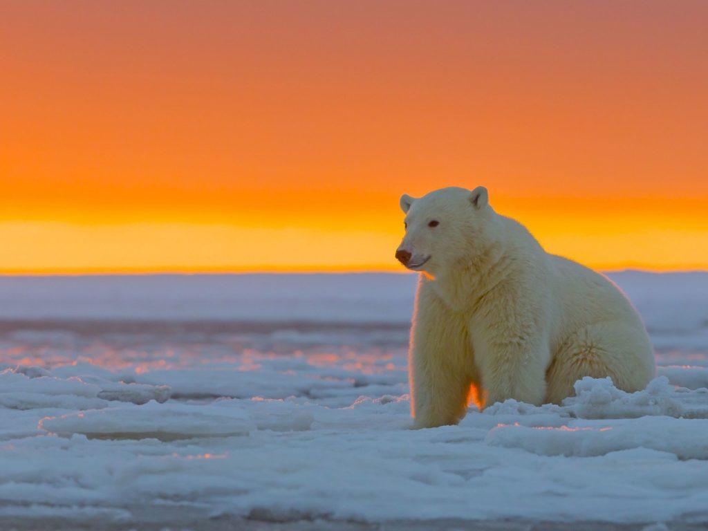 Polar Bear Alaska Snow Desktop Wallpapers Computer Background Images