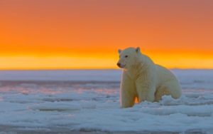 Polar Bear Alaska Snow Desktop Wallpapers
