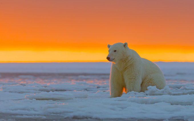 Polar Bear Alaska Snow Desktop Wallpapers