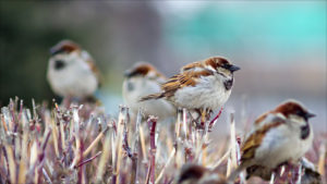 Sparrows Branch Birds Winter Desktop Wallpapers