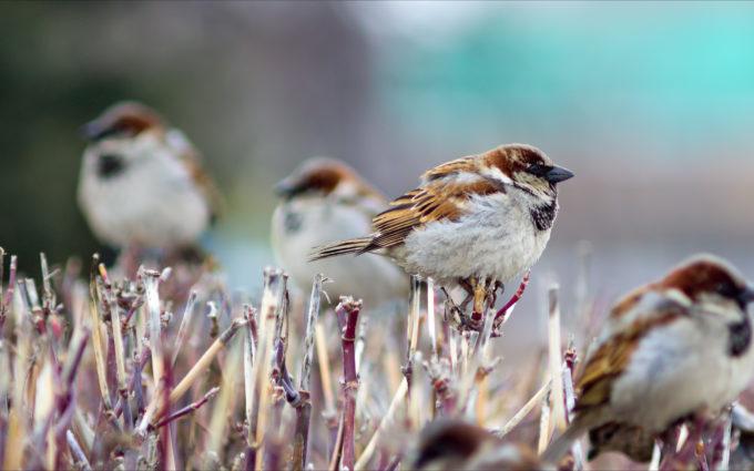 Sparrows Branch Birds Winter Desktop Wallpapers