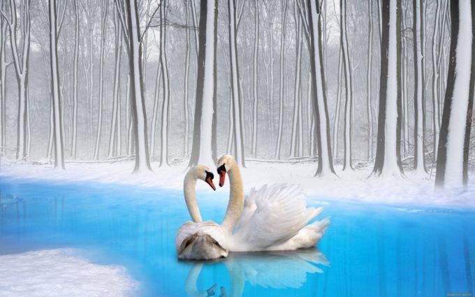 Swans Couple Birds Loyalty Desktop Wallpapers