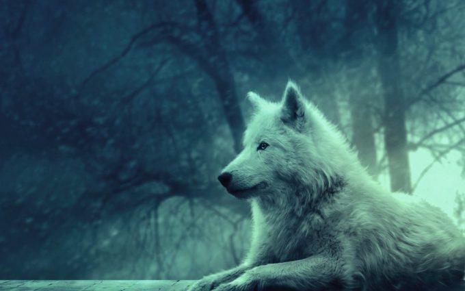 Wolf Light Forest Wild Calm Peace Desktop Wallpapers
