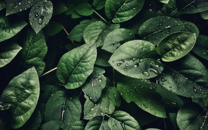 Leaves With Droplets Desktop Wallpapers